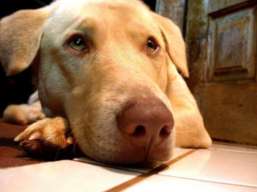 dingo the labrador 1409214